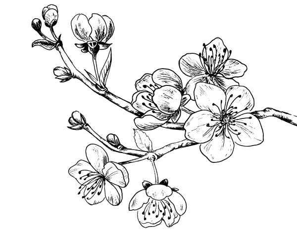 cherry tree branch coloring page coloringcrewcom