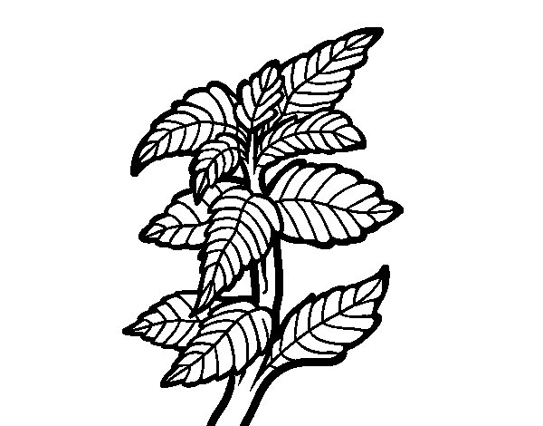 Mentha coloring page
