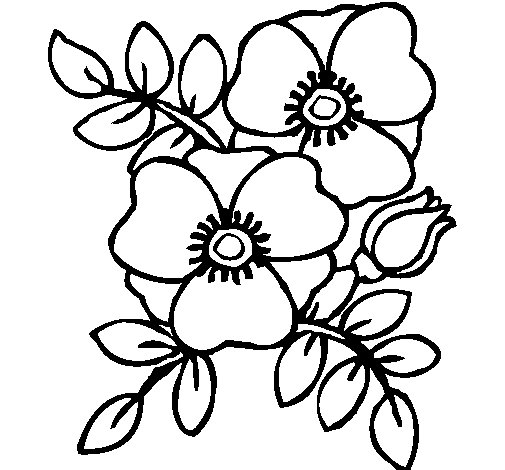 Poppies coloring page for Poppy flower coloring page