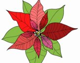 Coloring page Poinsettia flower painted byalexadra