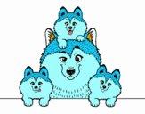 Husky family