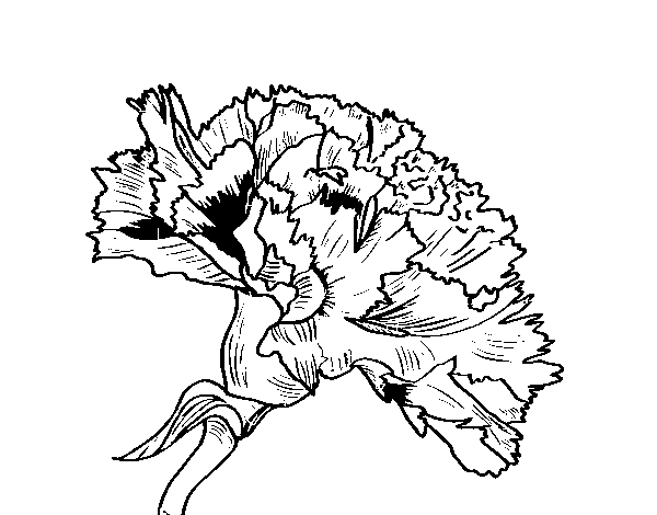 carnation flower coloring page coloringcrew com