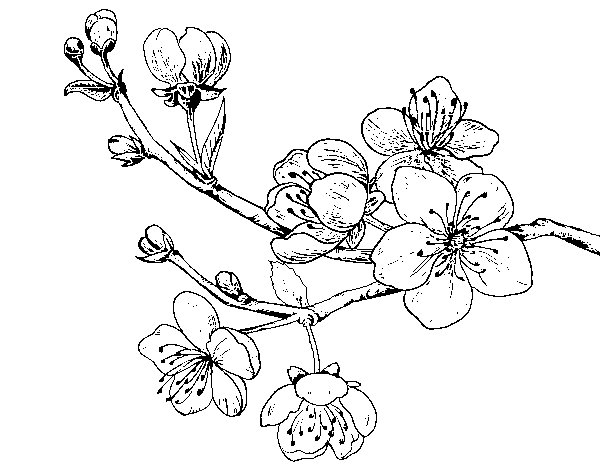 Cherry-tree branch coloring page